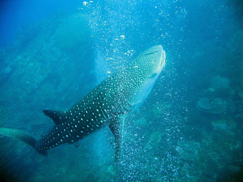 Dyk med hvalhajen i Thailand