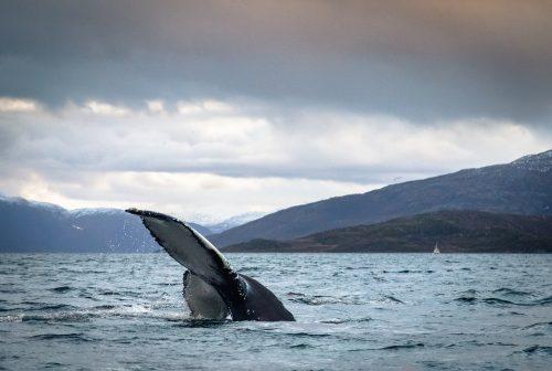 Tag på hvalsafari i Norge